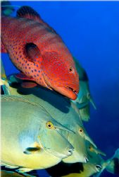 Grouper and Unicornfish, taken in Ras Mohammed last June.... by Jean-Philippe Trenque